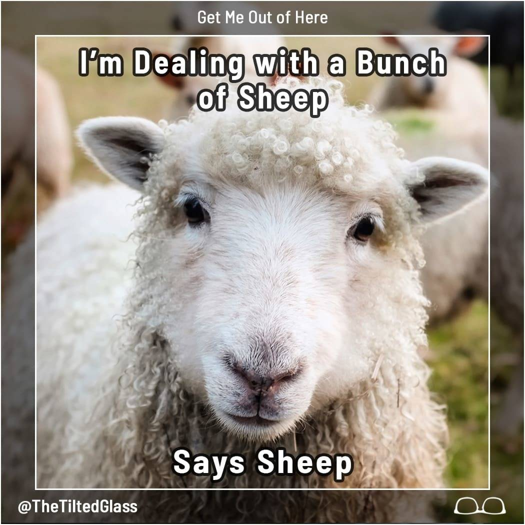 I'm Dealing with a Bunch of Sheep, Says Sheep
