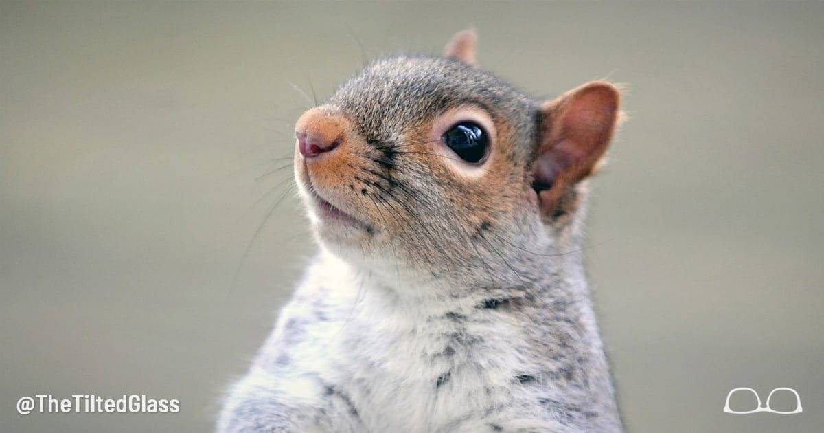 Gray Squirrel Removed From Endangered Species List