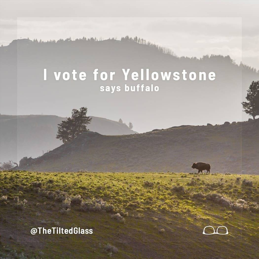 I vote for Yellowstone, says buffalo