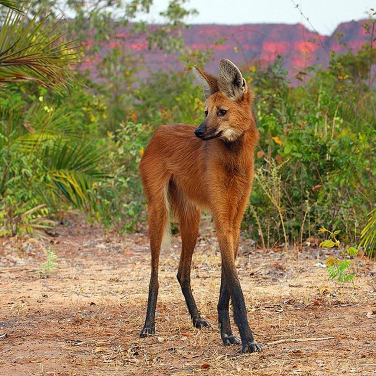 The Sexy Maned Wolf has Stolen My Heart
