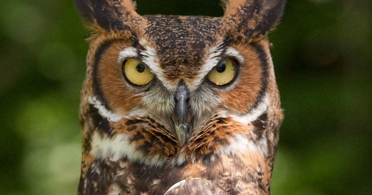 Former Park Ranger Says Great Horned Owl is Ripping Society Apart