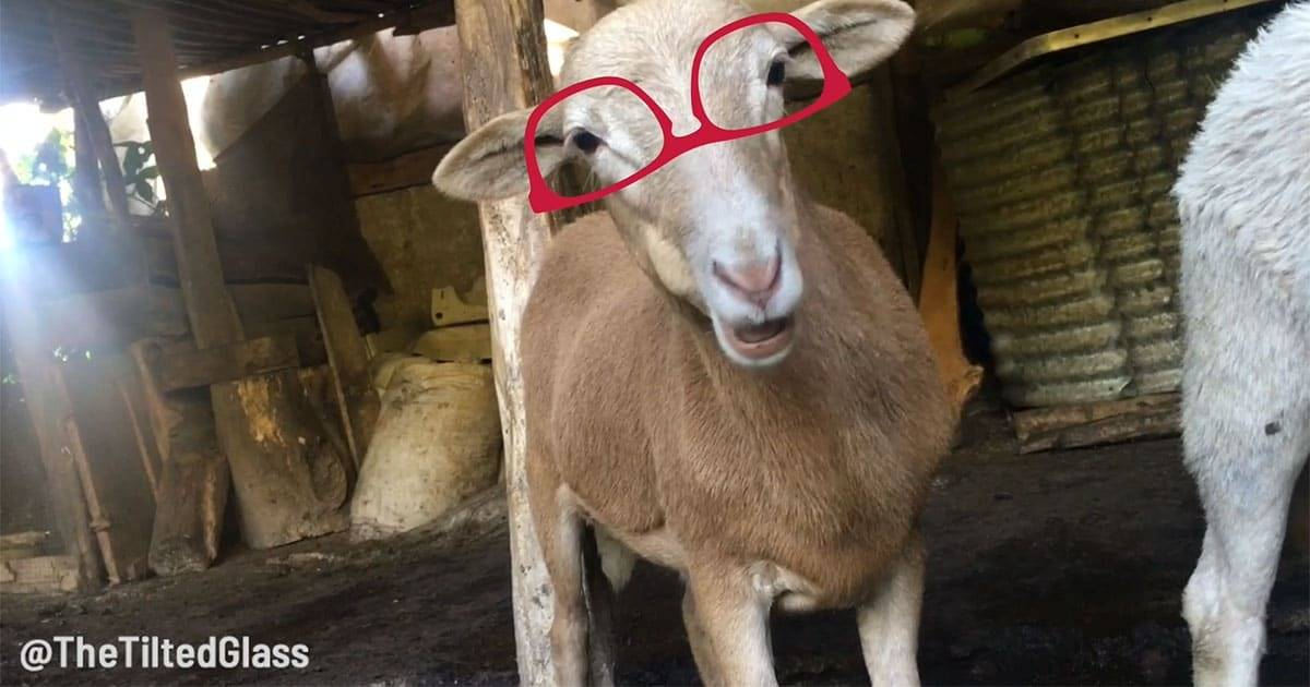 Video: Here now is a goat wearing sunglasses, chewing and staring into your heart.