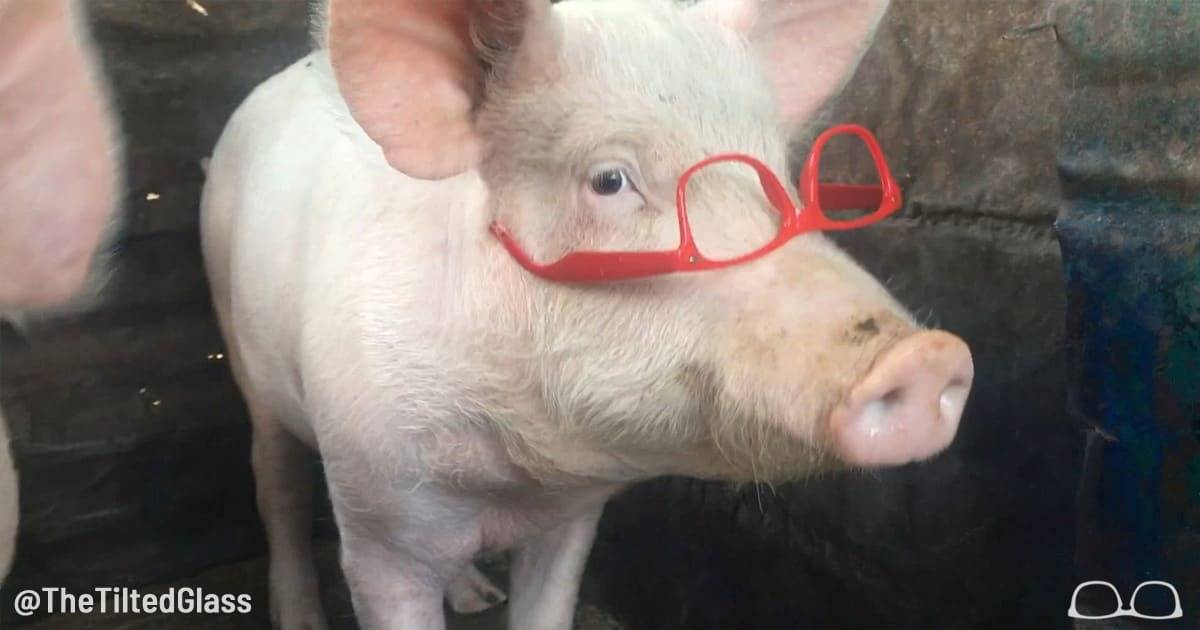 Video: Our Pig Loves You and Everything is Ok